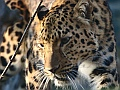 Amur leopard, Edinburgh Zoo