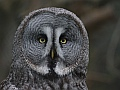 Great grey owl, Edinburgh Zoo