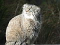 Pallas's cat, Edinburgh Zoo